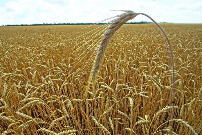 Кубань намерена пересмотреть объёмы экспорта пшеницы