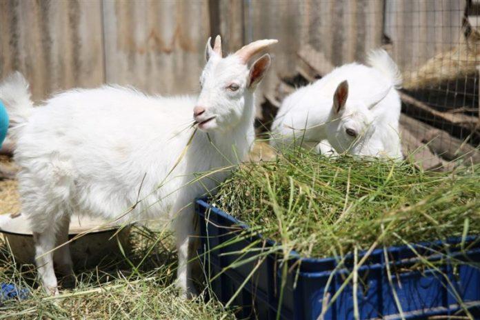 Микоплазменные инфекции коз