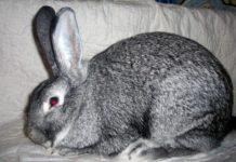 Мясо—шкурковые породы кроликов