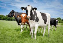 Московская область: Восемь с/х предприятий избавились от лейкоза коров с начала года