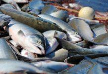НаДальнем Востоке ограничат вылов лосося