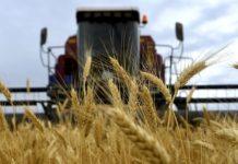 На Украине пшеницу объявили «второй нефтью» и предрекли миру голод