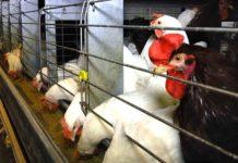 Напольное и клеточное содержание родительского стада кур