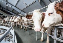 Новосибирская область: Племенные организации в 2020 году увеличили надои на 12%, а поголовье мясного скота – на 54%