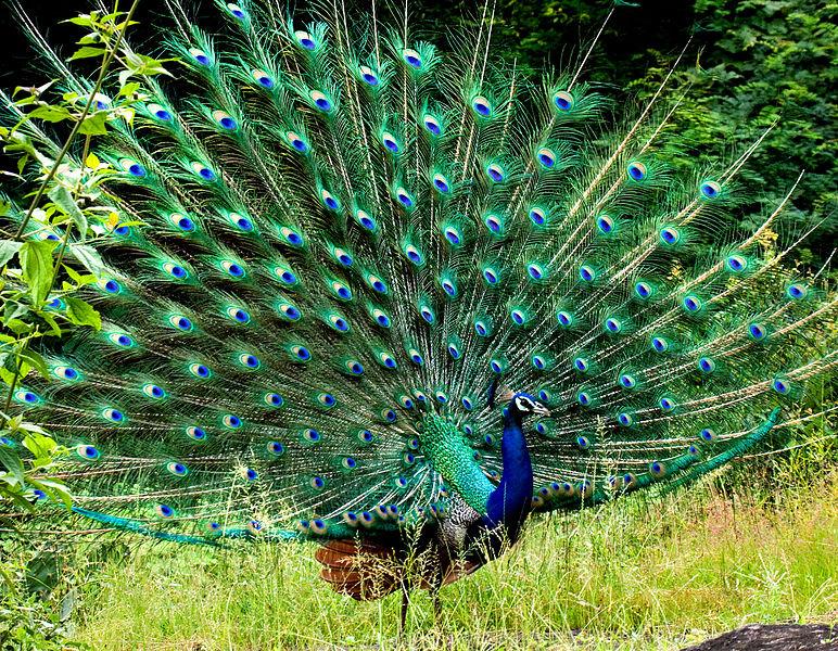 Павлин характеристика птицы