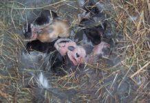 Окрол и осмотр гнезда