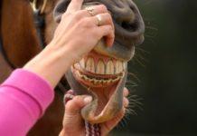 Определение возраста лошадей