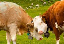 Осеменение коров и тёлок