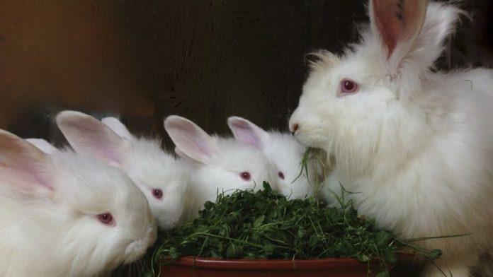 Особенности содержания пуховых кроликов