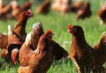Отбор куриц-молодок