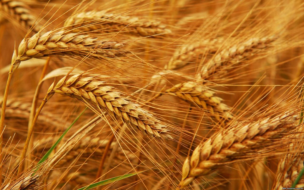 Photo of Причиной устойчивости пшеницы к одному грибку стал ген другого грибка