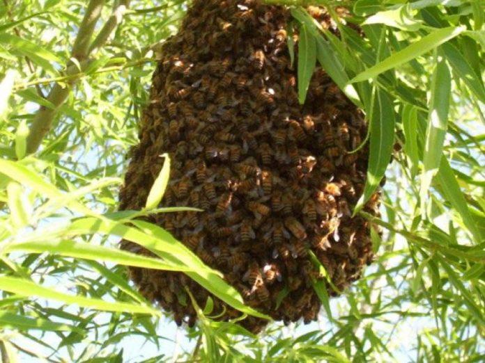 Подготовка пчел к роению