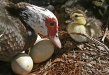 Подготовка уток к яйцекладке