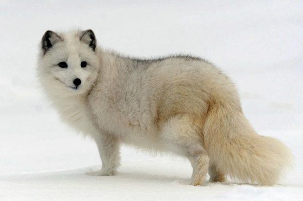 Породы лис