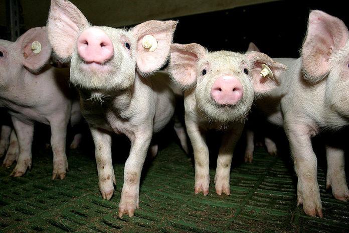 Преимущество трехпородного скрещивания в свиноводстве