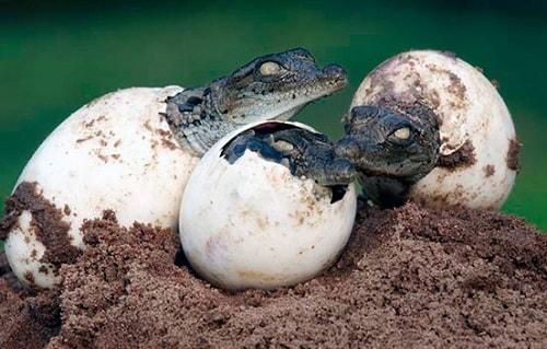 Размножение крокодилов