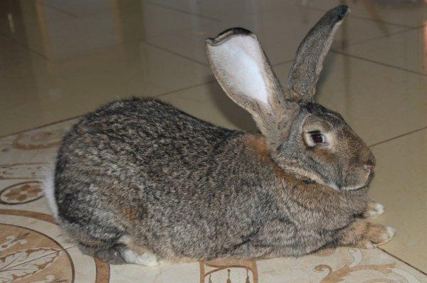 Разведение кроликов породы серый великан