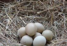 Сбор и хранение яиц фазанов
