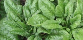 Шпинат огородный: как выращивать в открытом грунте