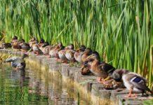 Содержание и кормление водоплавающей птицы