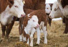 Содержание ремонтного молодняка молочного скота