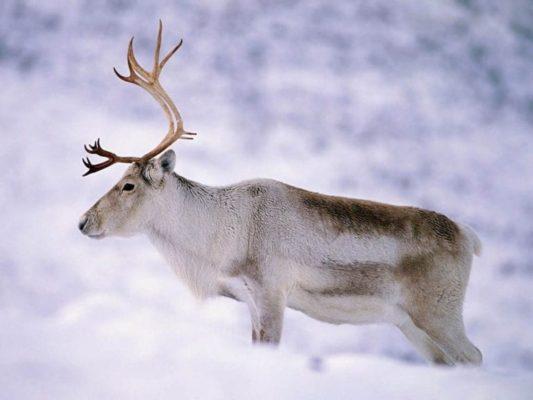 Средняя продолжительность жизни оленя