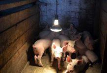 Строительство и оборудование помещений для содержания свиней