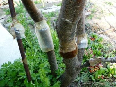 Три конструкции ловчего пояса для плодовых деревьев своими руками