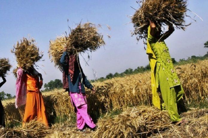 Ученые нашли способ повысить урожайность при экстремальных температурах