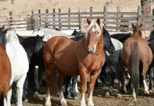 Условия содержания коней в табунах