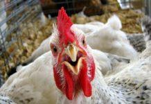 В Адыгее реализуют крупный инвестпроект в сфере птицеводства