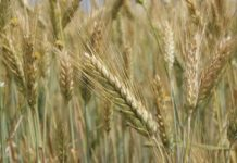 В Латвии рассказали об экспорте высококачественной ржи в Россию