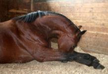 Воспалительные заболевания мышц у лошадей