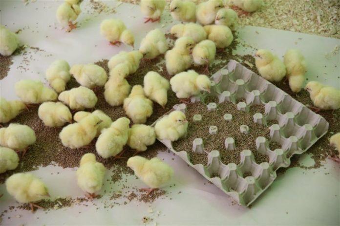 Выращивание цыплят без наседки