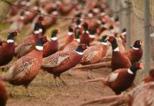 Выращивание фазанов