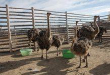 Выращивание страусов