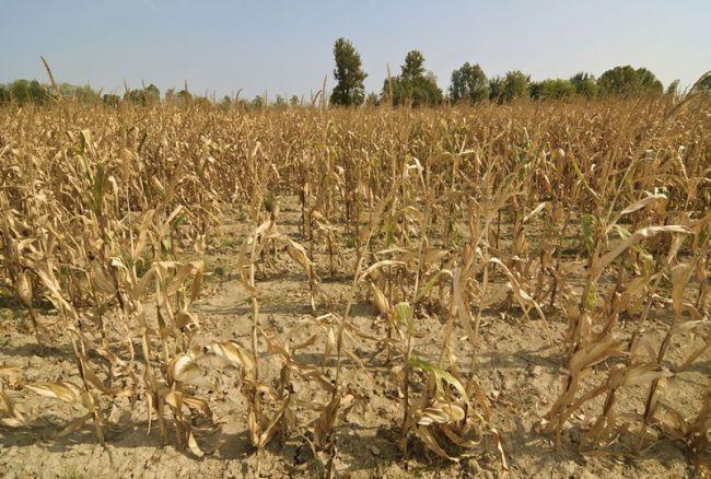 Засуха на Юге России: пшеница без колосьев