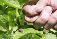58 - народных способа борьбы с колорадским жуком