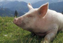Африканская чума в Нигерии уничтожила почти миллион свиней