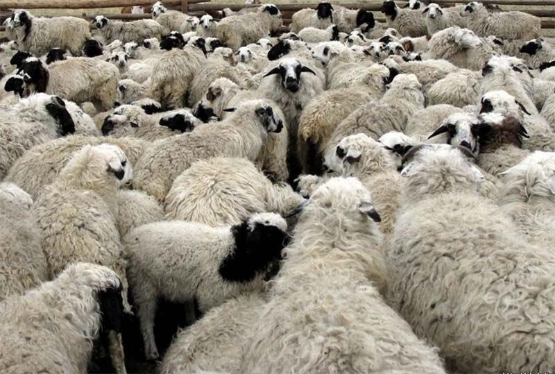 Аномальные холода в Туве унесли жизни почти тысячи голов скота