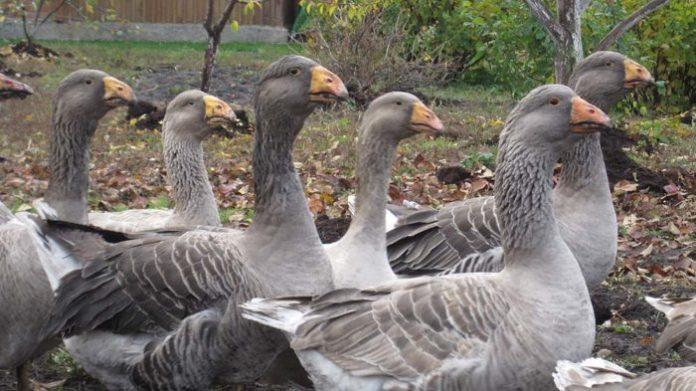 Бойцовая порода гусей
