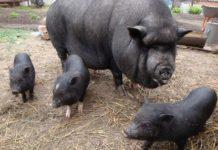 Чем кормят вьетнамских свиней