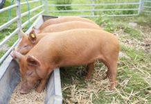 Чем можно кормить свиней