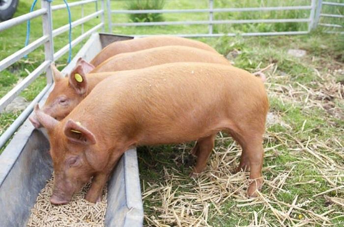 Photo of Чем можно кормить свиней