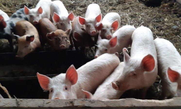Двухфазная технология выращивания свиней