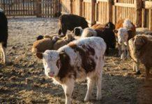 Хозяйствам Забайкалья выделили 20млнрублей наискусственное осеменение коров
