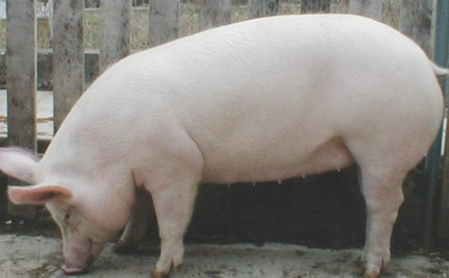 Какие породы свиней разводят в нашем крае