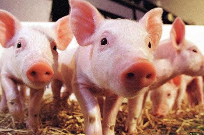 Photo of Какие породы свиней разводят в нашем крае