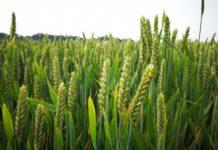 Каждая сортозамена озимой пшеницы дает прибавку урожайности от 1,5 до 2-х тонн на гектар