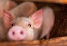 Короста у свиней